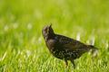 The starling (Sturnus vulgaris) sits on the grass