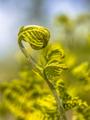 Unfurling new Fern leaf