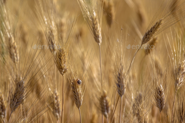 Close up of field of Barley on sunny day - Stock Photo - Images