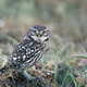 Little owl (Athene noctua) - PhotoDune Item for Sale