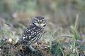 Little owl (Athene noctua) - PhotoDune Item for Sale