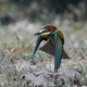 European bee-eater (Merops apiaster) - PhotoDune Item for Sale