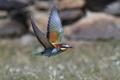 European bee-eater (Merops apiaster) - PhotoDune Item for Sale