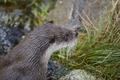 Otter head in wilderness. Wildlife animal background. Horizontal - PhotoDune Item for Sale