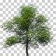 Konara Oak Trees