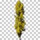 Lombardy Poplar Trees
