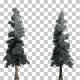 White Fir Snow Trees