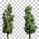 Oriental Spruce Trees