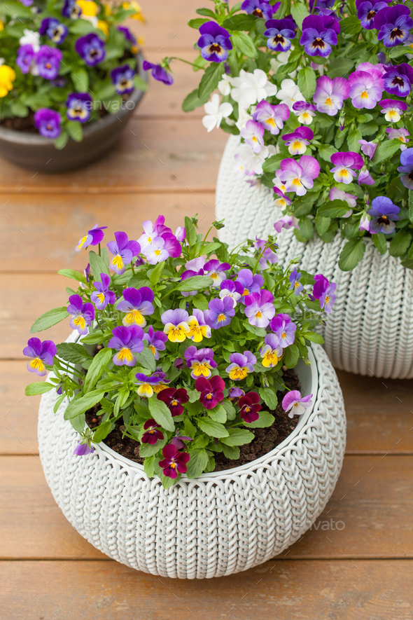 beautiful pansy summer flowers in flowerpots in garden - Stock Photo - Images