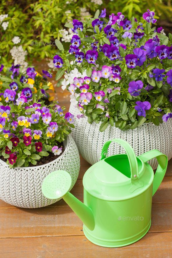beautiful pansy summer flowers in flowerpots in garden watering - Stock Photo - Images