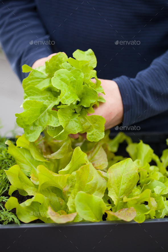 man gardener picking salad from vegetable container garden on ba - Stock Photo - Images