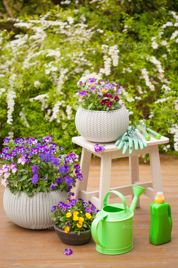 beautiful pansy summer flowers in garden, watering can, tools - Stock Photo - Images