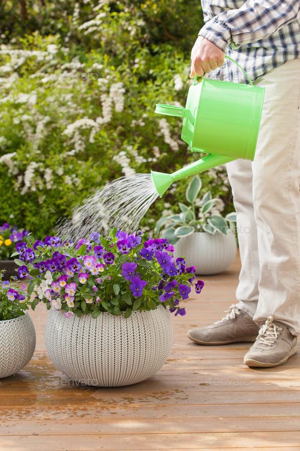 man watering viola flowers in garden - Stock Photo - Images