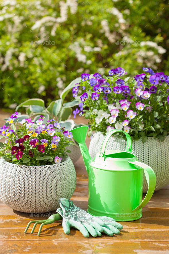 beautiful pansy summer flowers in garden and watering can gloves - Stock Photo - Images