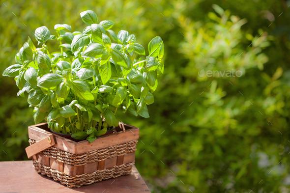 fresh basil herb in garden - Stock Photo - Images