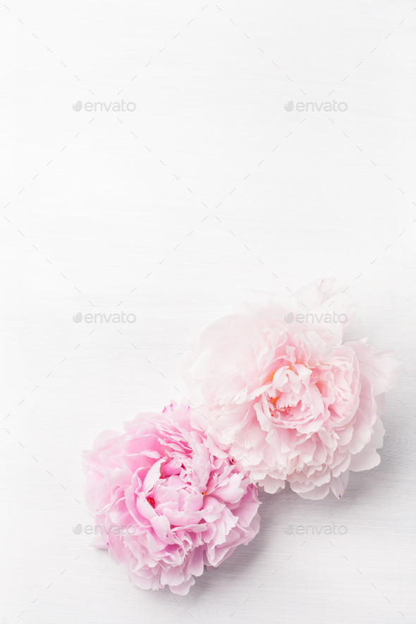 beautiful pink peony flower background - Stock Photo - Images
