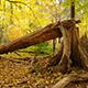 Falling Dry Tree