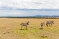 herd of zebras grazing in savannah at africa