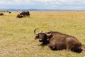 buffalo bulls grazing in savannah at africa