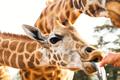 hand feeding giraffe in africa