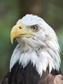 Bald eagle (Haliaeetus leucocephalus) - PhotoDune Item for Sale