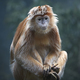 Javan lutung (Trachypithecus auratus) - PhotoDune Item for Sale