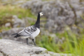 Barnacle goose (Branta leucopsis). Bird watching in Finland. Wildlife fauna