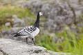 Barnacle goose (Branta leucopsis). Bird watching in Finland. Wildlife fauna - PhotoDune Item for Sale