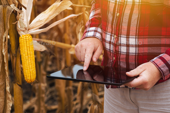 Female farmer working on tablet computer in corn field - Stock Photo - Images
