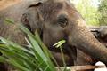 Thai elephant in zoo