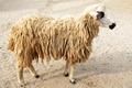 Brown sheep in farm, Thailand