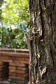 Blue chameleon on tree, Thailand - PhotoDune Item for Sale