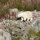 Female polar bear on the wilderness. Wild nature environment. Horizontal - PhotoDune Item for Sale
