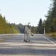 Reindeer crossing a road in Finland. Finnish landscape. Travel background - PhotoDune Item for Sale