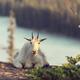 Mountain goat - PhotoDune Item for Sale