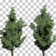 Sourwood Flowers Trees