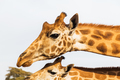 giraffes in africa - PhotoDune Item for Sale
