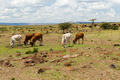 cows grazing in savannah at africa - PhotoDune Item for Sale