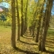 Grove of Yellow Colored Autumn Aspen Poplar Trees - VideoHive Item for Sale
