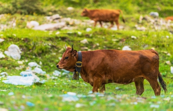Cows on Side of the Mountain - Stock Photo - Images