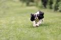 Dog running - PhotoDune Item for Sale