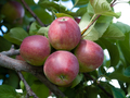 Organic red apples on branch