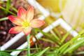 Zephyranthes Rosea flower - PhotoDune Item for Sale