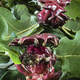 Red galls developed by a wasp larva for protection - PhotoDune Item for Sale