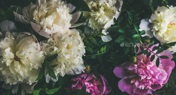 White and pink peony flowers over dark background - Stock Photo - Images