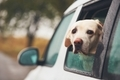 Dog looking out of a car