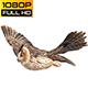 Owl Looped 3