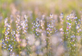 Field of lupine - PhotoDune Item for Sale