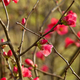 Cherry blossoms - PhotoDune Item for Sale