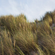 Sand grasses in the dunes - PhotoDune Item for Sale